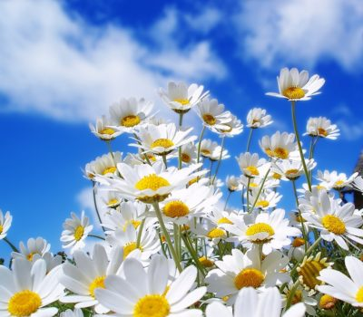 chamomile-flowers-summer-meadow-sky-clouds-beauty